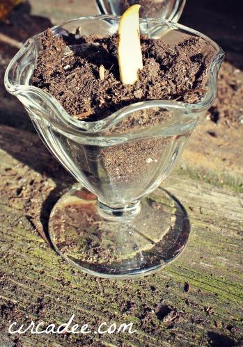 planting paperwhites