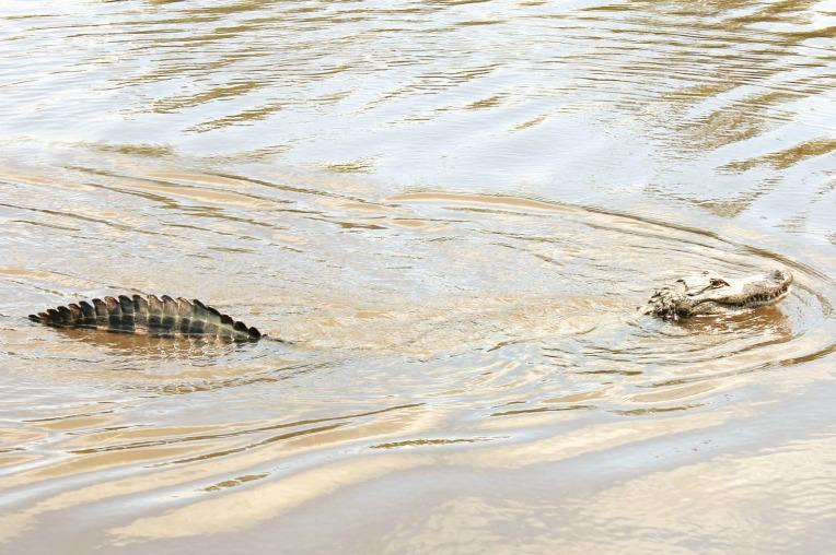New Orleans bayou aligator