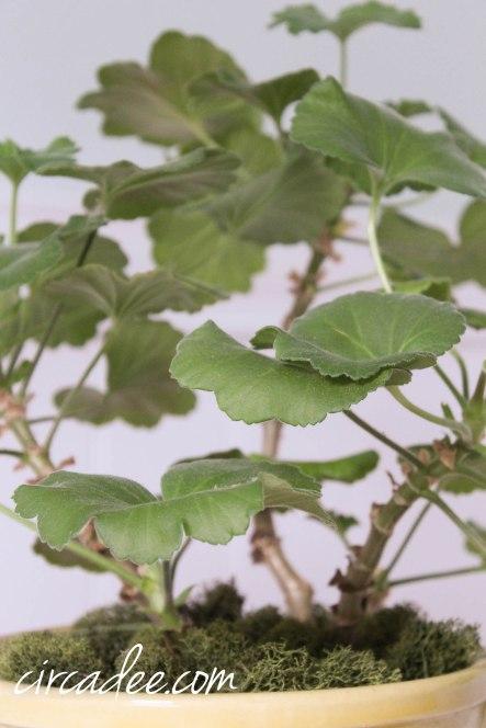 over wintering a geranium