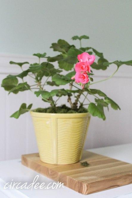 blooming geranium in February