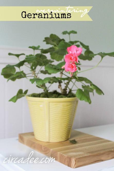 overwintering geraniums
