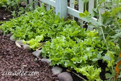 lettuce salad garden