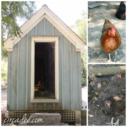 Beach Plum Farm Hens