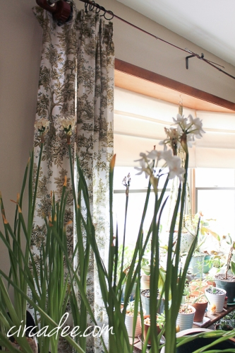 toile curtains & paperwhites