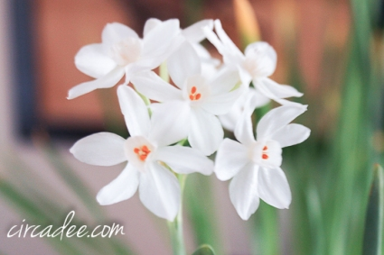 narcissus - paper white blooming