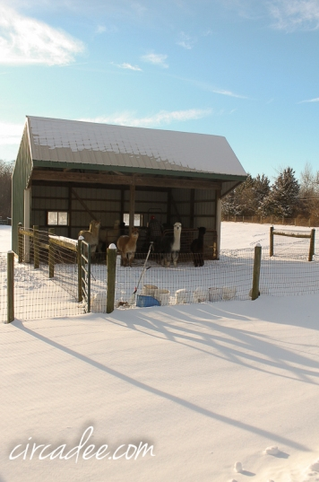 alpaca farm-5824