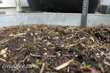 carrots emerging in the garden - april-6354