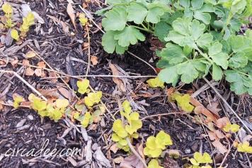 ceeping jenny & columbine in the garden - april-6374