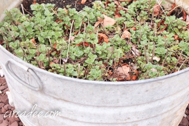 oregano in the garden - april-6377