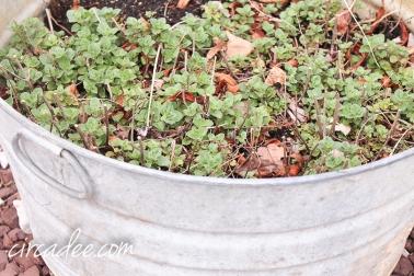 oregano in the garden - april-6377